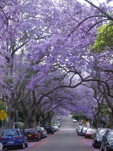 Sydney Jacaranda Season