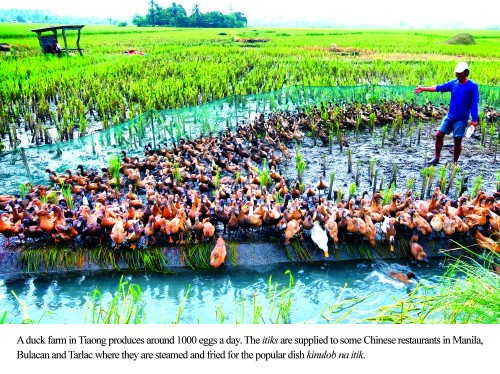 Duck Farm in Tiaong Quezon