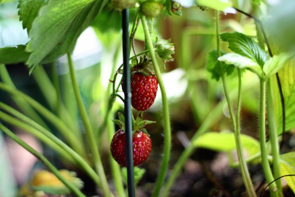Strawberry Farm in Cameron Highlands