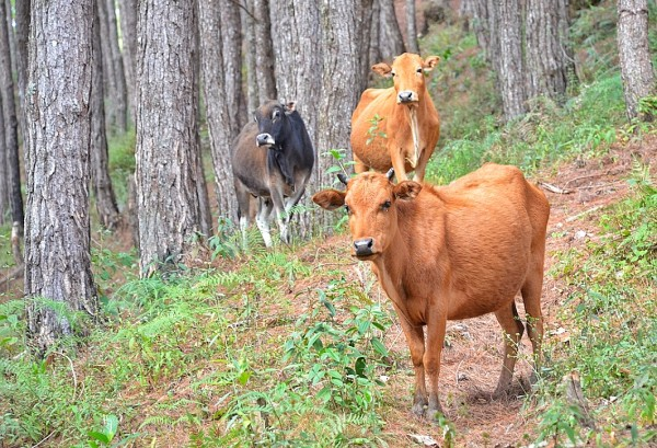 Cows in Sagada