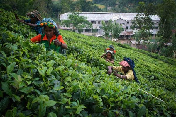 Dilmah Tea Plantation in Sri Lanka