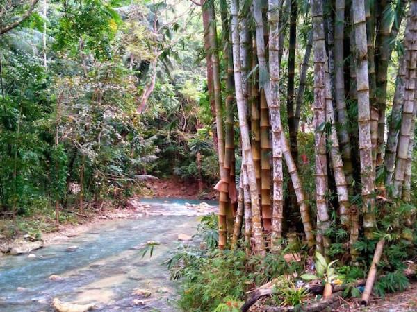 Bamboo trees symbolizing Filipino versatility