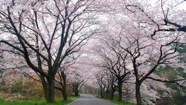 Sakura Festival in Japan