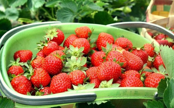 Strawberry-picking at La Trinidad