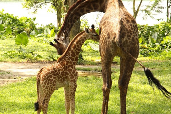 New Giraffe calf at Singapore Zoo