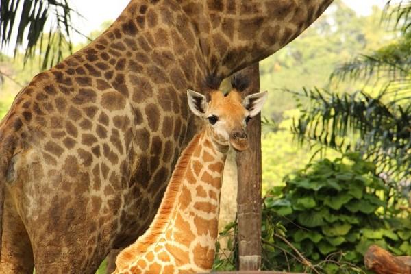 Singapore Zoo Giraffe Calf
