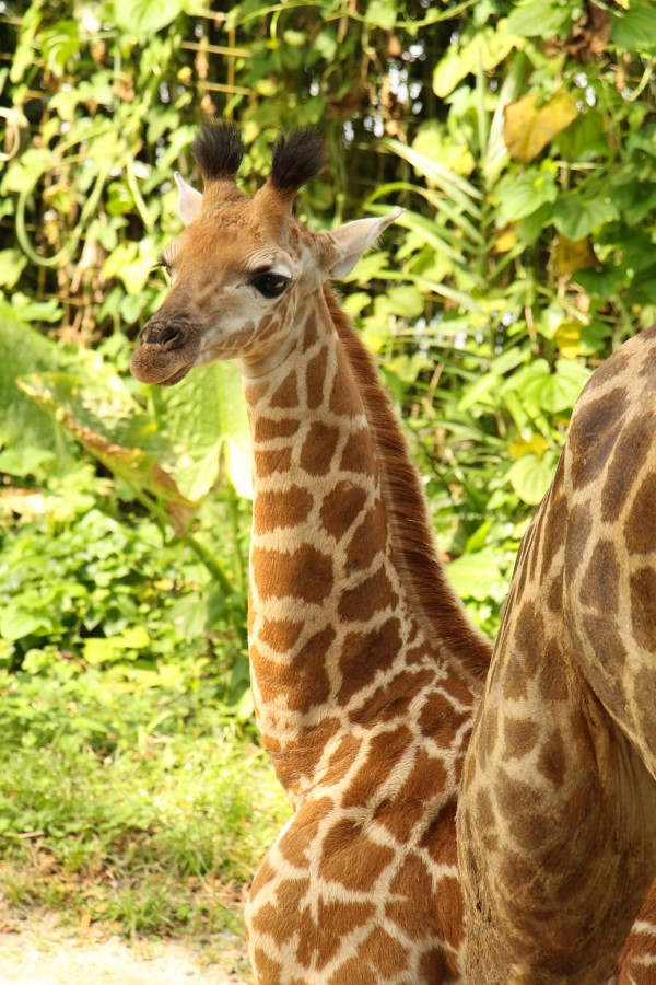Singapore Zoo welcomes newest Giraffe Calf