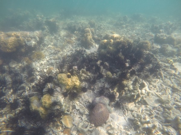 spiky sea urchins
