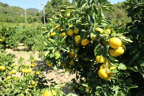 Orange Picking at Gamagori Orange Park