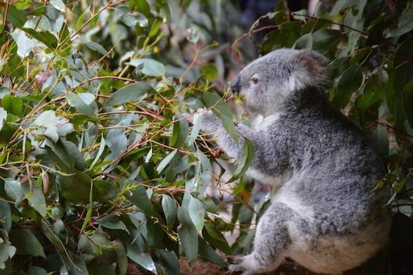 Koala - Wildlife in Australia