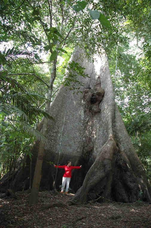 Visiting a Samauma Tree