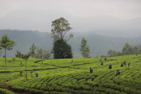Tea pluckers in the plantations