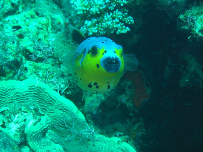 A puffer fish spotted swimming near coral beds Photo from Municipality of Alcoy