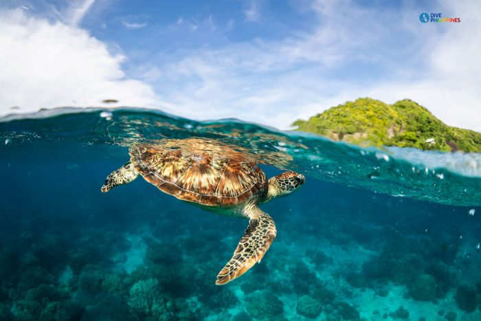 A sea turtle swims close to the surface of the shore near Apo Island