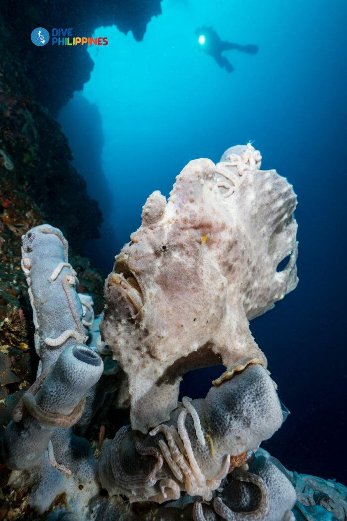 Moalboal Giant Frogfish Pescador