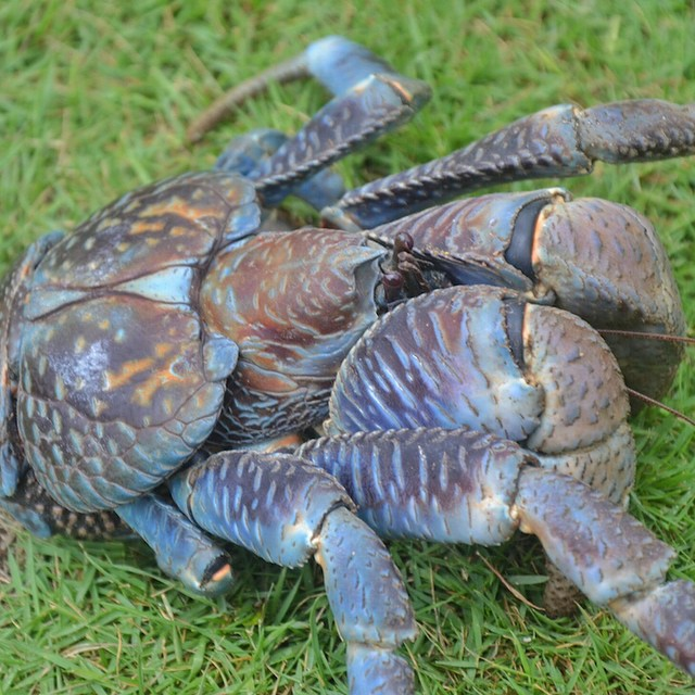 Coconut Crab in Sabtang Island