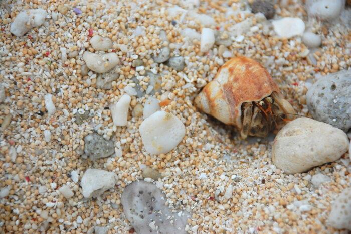 Sabtang Hermit Crabs