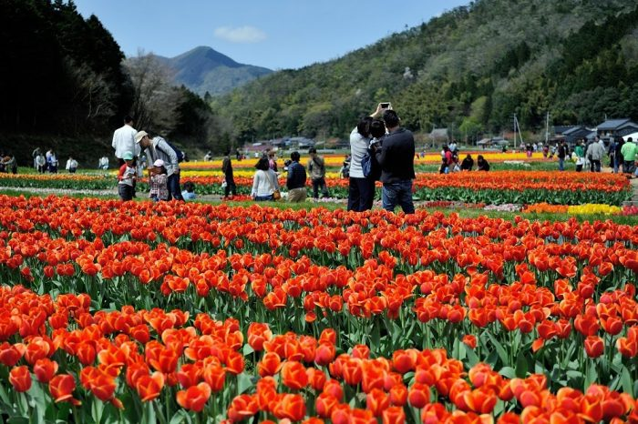 Tanto Tulip Festival continues its run near Kinosaki Onsen