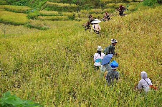 Rice Harvest in Hungduan
