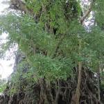 600-Year-Old Balete Tree in Baler