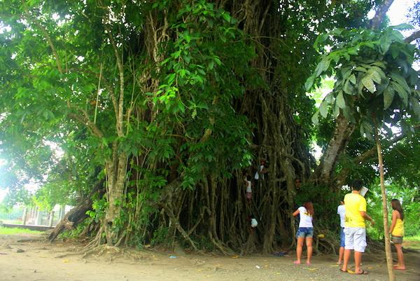 600 Years Old Balete Tree