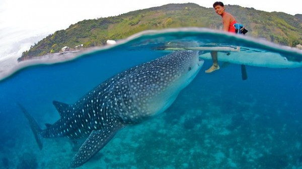Whale Shark Interaction in Oslob Cebu by Janey Oslob Experience