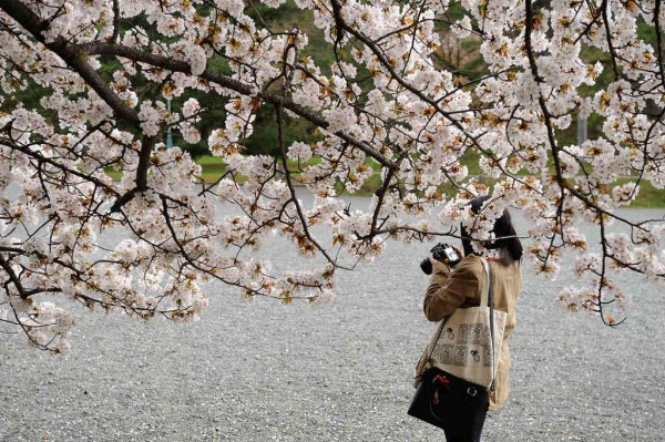 Cherry Blossoming in Kyoto