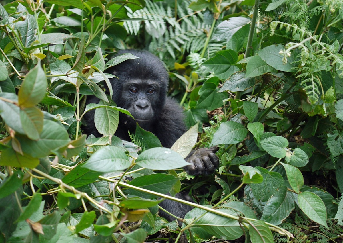 A comprehensive gorilla trekking guide for first timer tourists to Uganda, Rwanda and Congo