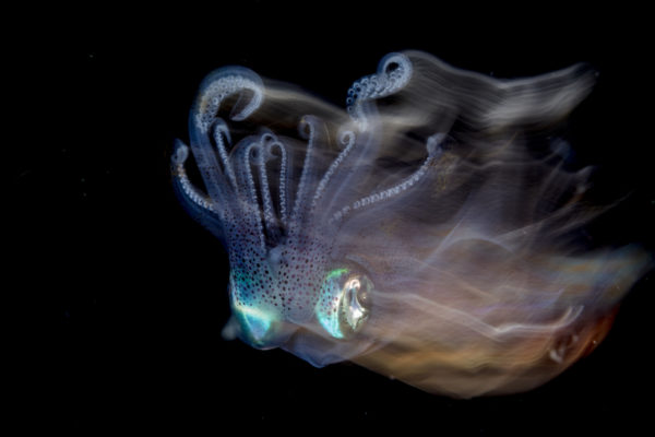 Open Class Cephalopods Category First Place Lilian Ko of Singapore