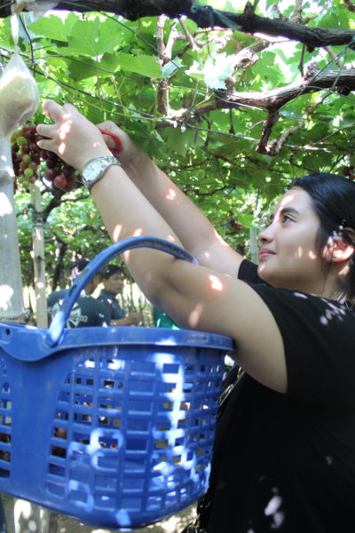 Grape Picking at the Manguerra Farm.
