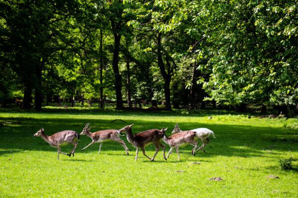 Some of the deer running free around the Tiergarten