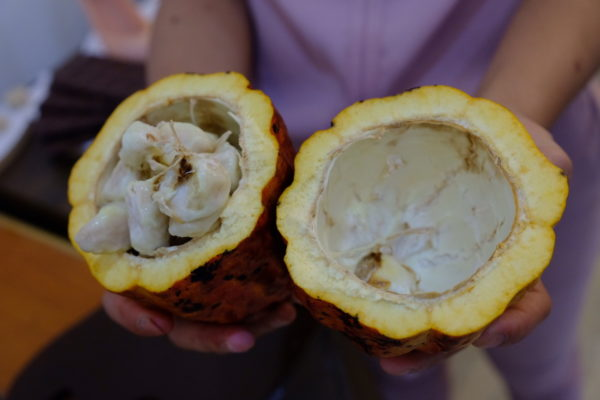 Cacao from Bohol