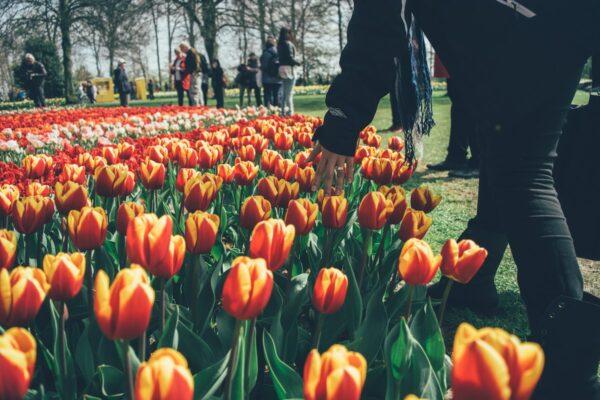 Keukenhof, a park of the flowers near Amsterdam photo by Mario Gogh via Unsplash