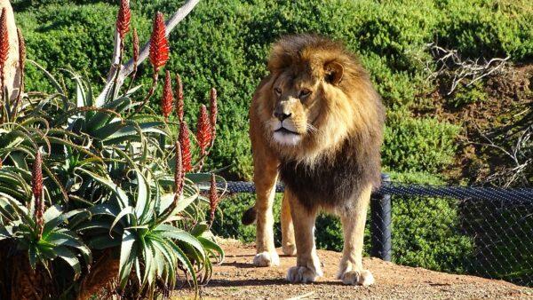 Lion Melbourne Zoo