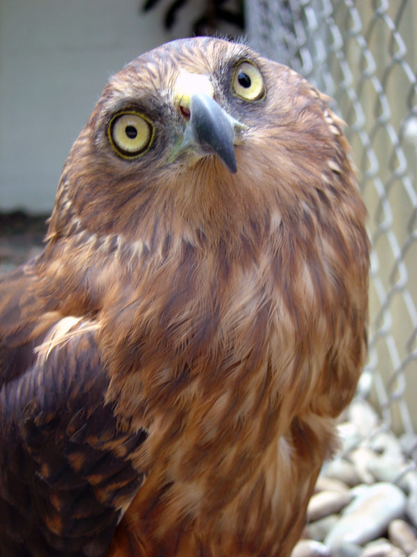 Swamp Harrier at the Zoo of Kula WILD Adventure Park photo by Ian Sutton via Wikipedia CC