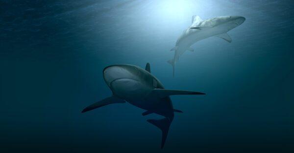 Swimming with Sharks Hawaii