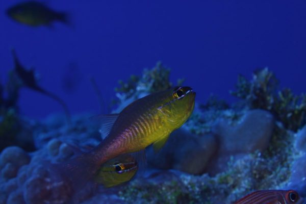 Cardinalfishes (Apogon sp.) are mouth brooders and liveon urchins and branching corals.© OCEANA/UPLB