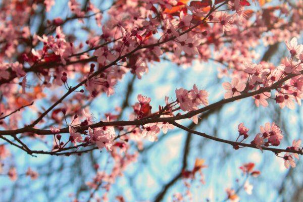 Cherry Blossoms in Fukuoka by Karolien Brughmans via unsplash