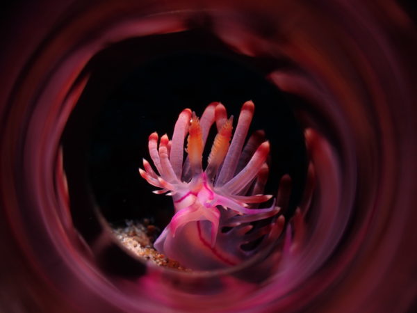 Rose-colored view. A swirl of pink against the pitch black waters surrounds the coryphellina rubrolineata (Photo by Ronald Dalawampo of the Philippines, 3rd Place, Compact Class Nudibranch)
