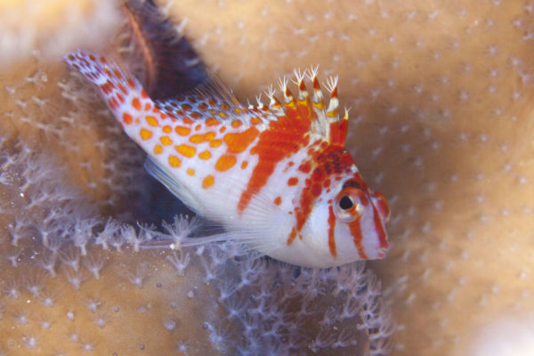 Hawkfish (Cirrhitichthys falco)resting on coral. Hawkfish lead a solitary life and are usually spotted atreef drop-offs.© OCEANA/UPLB
