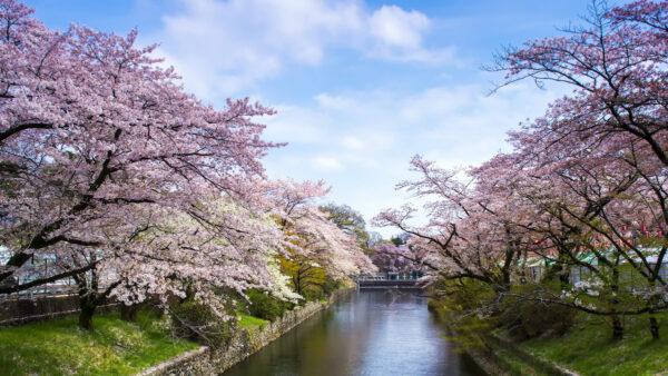 Sapporo Cherry Blossoms Forecast photo by Raymond Ling via Flickr CC