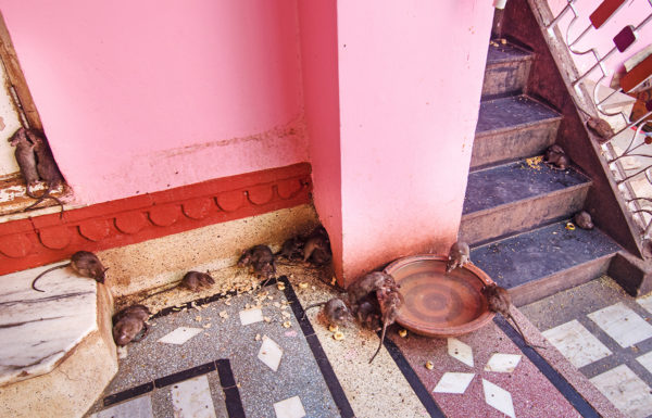 The holy rats of Karni Mata temple