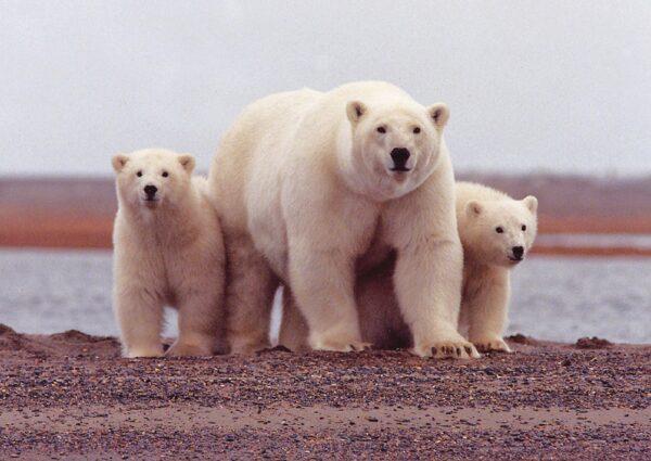 Alaska Polar Bear - Reasons Why You Should Take an Alaskan Cruise from Seattle