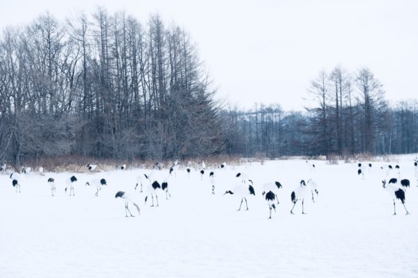 Hundreds of red-crowned cranes in the sanctuary