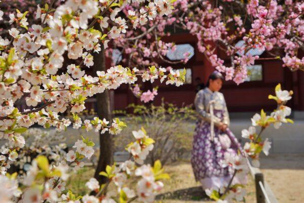 Cherry Blossoms at Gyeongbokgung Palace