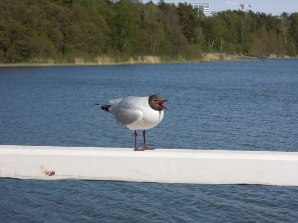 Seagull in Seurasarri
