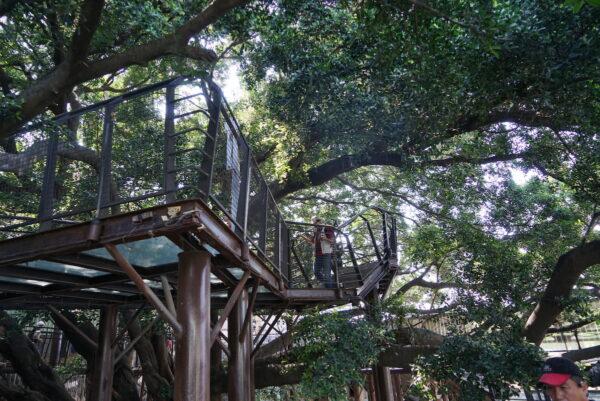 Elevated Walkways surrounding huge Banyan Trees