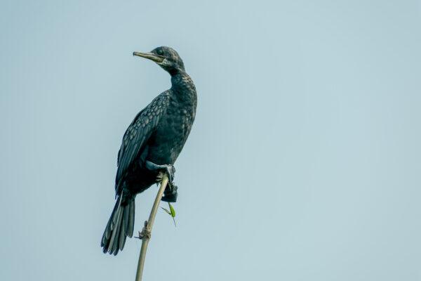 Double-crested (Phalacrocorax auritus) Cormorant, a matte black fishing bird in Kumarakom Bird Sanctuary