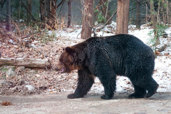 Bears of Everland roaming freely - South Korea