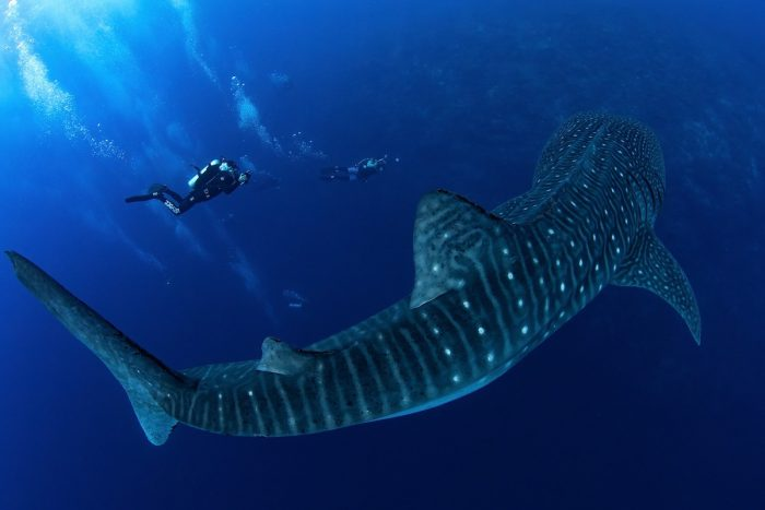 Divers swimming with a Whaleshark by Jerome Kim